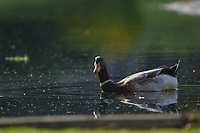 A duck swims on the pond near the green on 6 during round 2 of the World Golf Championships, Mexico, Club De Golf Chapultepec, Mexico City, Mexico. 2/22/2019.<br /> Picture: Golffile | Ken Murray<br /> <br /> <br /> All photo usage must carry mandatory copyright credit (© Golffile | Ken Murray)