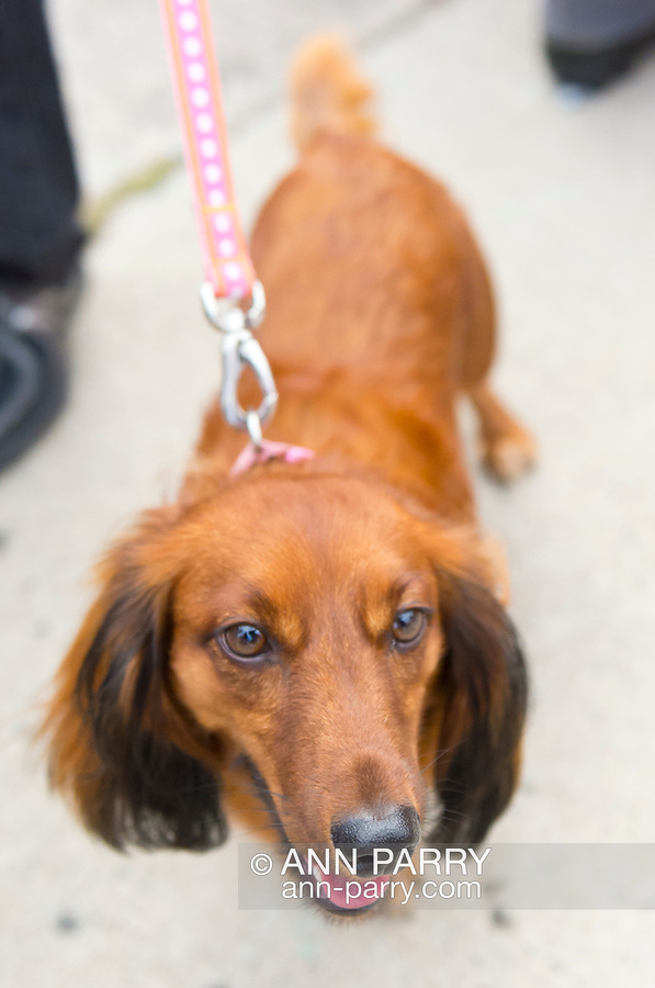 Sept. 22, 2012 - Bellmore, New York U.S. - Red longhaired dachshund on pink leash sees ground level view of the 26th Annual Bellmore Family Street Festival. More people than the well over 120,000 who attended the Long Island fair last year were expected.