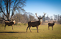 2019_02_26_Calke_Abbey_Stags