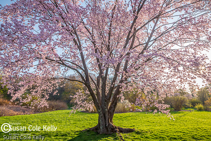 Cherry blossoms at the Arnold Arboretum in Jamaica Plain, Boston, Massachusetts, USA