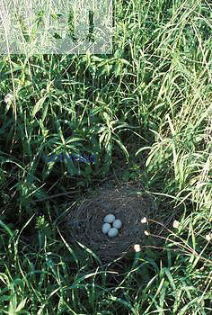 A Northern Harrier Hawk's nest with four eggs. ,Circus cyaneus, Mead Wildlife Area, Wisconsin