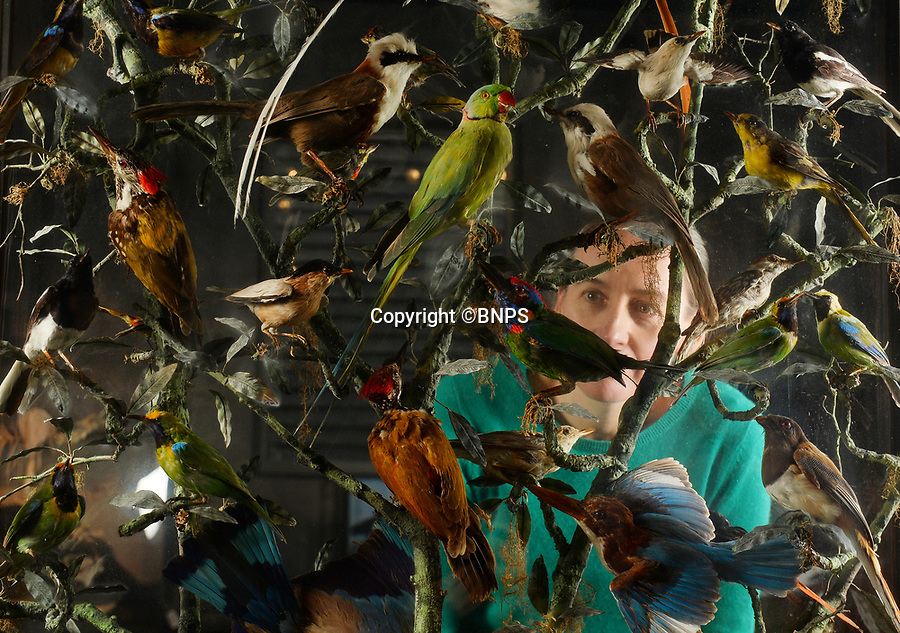 BNPS.co.uk (01202 558833)<br /> Pic: ZacharyCulpin/BNPS<br /> <br /> PICTURED: The sale titled 'Evolution' also includes   a case of Indian Birds by 19th century taxidermist, Henry Burton. The birds include  rollers, woodpeckers, hoopoes, Himalayan thrushes, parakeets and broadbills.  Kate Diment of Summers Place  admires the glass case valued at £6000.<br /> <br /> A collection of Jurassic Park-like fossilised amber containing 100 million year old insects has emerged for sale at auction.<br /> <br /> The 12 translucent lumps of the prehistoric resin date back to when dinosaurs walked the earth.<br /> <br /> At least five of the samples hold the perfectly preserved form of insects including a mosquito, a spider, a scorpion and a cockroach.<br /> <br /> In Steven Spielberg's classic 1993 film starring Richard Attenborough dinosaurs are reintroduced to the world by extracting their DNA from a mosquito preserved in amber.