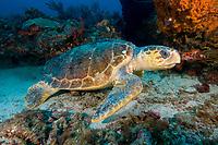 Loggerhead sea turtle, Caretta caretta, West Palm Beach, Florida, Atlantic