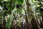 """In the Jalgaon district, each banana plant produces an average of twenty-five kilograms per year - much more than elsewhere in the country. The town is the stronghold of the Jain company, which cultivates ultra-resistant cuttings in the laboratory and sells them to the peasants. Result: the latter harvest more, and are less affected by the crisis of Indian agriculture<br />Jalgaon, an agricultural town nicknamed """"banana city"""", holds the world record of productivity of banana plans. The district is famous for its fruits and vegetables, produced in particular under the aegis of the multinational Jain, specialist in irrigation pipes as well as cultures in laboratory."""