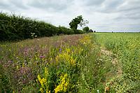 Conservation headlands - Norfolk, July