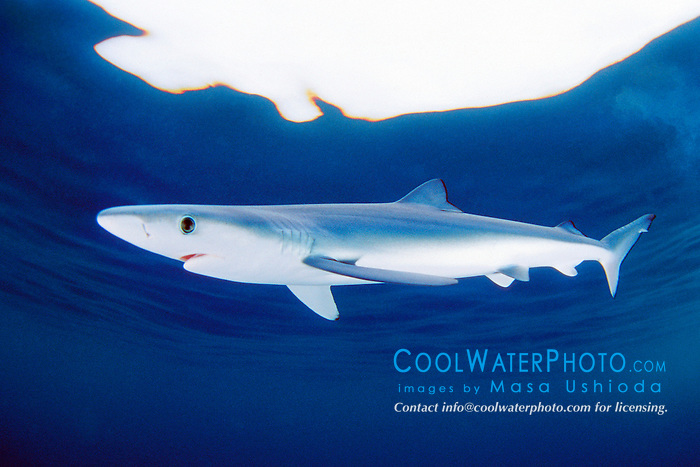 blue shark pup, .Prionace glauca, .San Diego, California (E. Pacific).