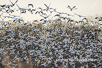 00754-02720 Snow Geese (Anser caerulescens) flying from wetland at sunrise Marion Co. IL
