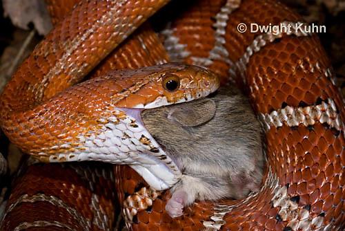 1R22-640z  Corn Snake, Banded Corn Snake, Elaphe guttata guttata or Pantherophis guttata guttata, catching and eating mouse