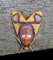 Tiger moth; Paranerita; Panama