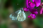 Black Veined White butterfly, Aperia crataegi, resting on pea pink  purple flower, side view of wings, Provence .France....