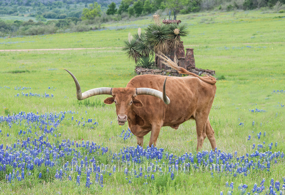 Captured this longhorn off the beaten path near Llano with some bluebonnets in the spring time.