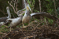Oiled juvenile Brown Pelicans (pelecanus occidentalis) in their nest at waters edge. Nests like these were heavily oiled by the BP oil spill in Barataria Bay. Plaquemines Parish, Louisiana. July 2010.