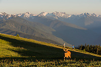 Columbian black-tailed deer (Odocoileus hemionus columbianus) buck in subalpine meadow near summit of Hurricane Hill with Olympic Mountains in background.  Olympic National Park, WA.  Summer. Late evening.  Hikers on Hurricane Hill trail.