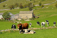 Limousin bull with cows, North Yorkshire.