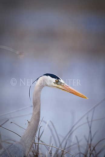 Great Blue Heron in reeds at Brown's Lake  in Montana