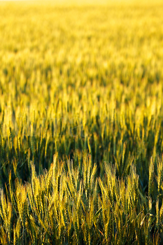 Wheat farmland near Ritzville, Eastern Washington