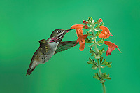 Calliope Hummingbird, Stellula calliope, male feeding on Sage, Paradise, Chiricahua Mountains, Arizona, USA, August 2005