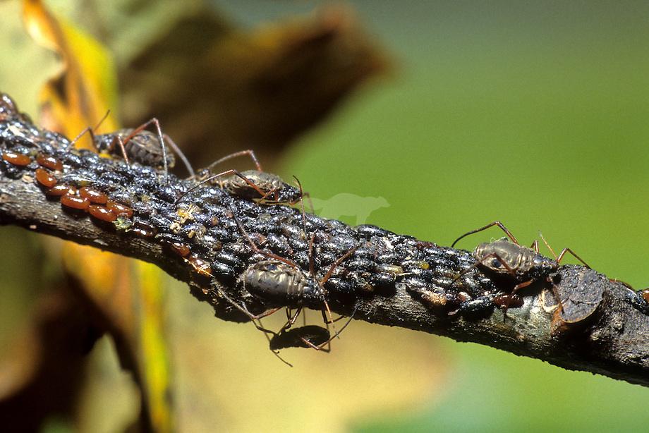 Bladluis kolonie, Eikienkankerluis (Lachnus iliciphilus)