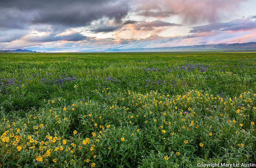 Carrizo Plain National Monument, CA: Clearing storm clouds at sunset over a field of yellow flowering monolopia (Monolopia lanceolata) and puple flowering phacelia (Phacelia ciliata) with Tremblor Range in the distance