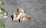 Barbary macaque apes, Macaca sylvanus, Gibraltar, British terroritory in southern Europe