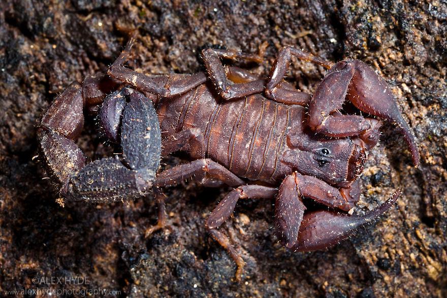 Scorpion {Scorpiones} discovered under rotting log, tropical rainforest, Andasibe-Mantadia NP, Madagascar.