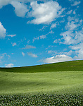 Beans blooming on the green rolling hills in the summer in the Palouse Valley