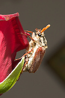 Germany, DEU, Datteln, 2005-Apr-19: A may-bug (melolontha melolontha) at a red blossom.