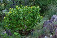 Venegasia carpesioides Canyon Sunflower flowering in California native plant garden, Regional Parks Botanic Garden, Berkeley, California