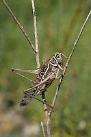 Südlicher Warzenbeißer, Südlicher Warzenbeisser, Männchen, Decticus albifrons, Southern wartbiter, wart biter, male, Tettigoniidae