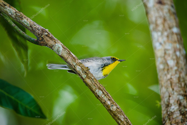 An Olive-capped Warbler (Dendroica pityophila) male flits through the foliage in Hacienda Cortina, Pinar del Río, Cuba.