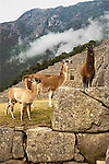 Three llamas of different sizes and colors of tan and brown stand at different levels on ground and large stones at high altitude enclosed in Machu Picchu in Peru.