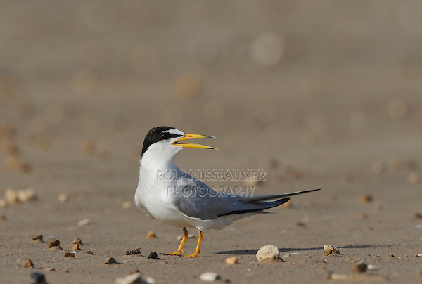 Least Tern (Sterna antillarum), adult calling, Port Isabel, Laguna Madre, South Padre Island, Texas, USA