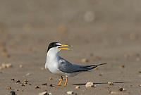 Least Tern (Sterna antillarum), adult calling, Port Isabel, Laguna Madre, South Padre Island, Texas, USA