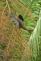 Creasted Guan feeding, Belize, Central America