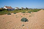 Vegetated shingle beach habitat at Shingle Street, Suffolk, England