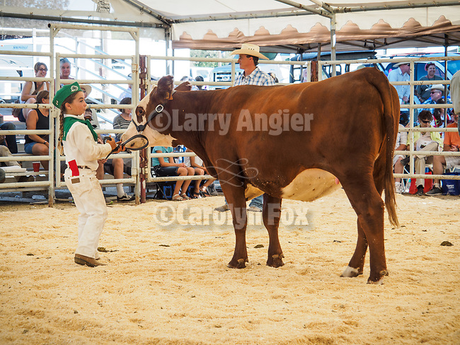 Replacement Heifer auction. The 79th Amador County Fair, Plymouth, Calif.<br /> <br /> <br /> #AmadorCountyFair, #PlymouthCalifornia,<br /> #TourAmador, #VisitAmador,