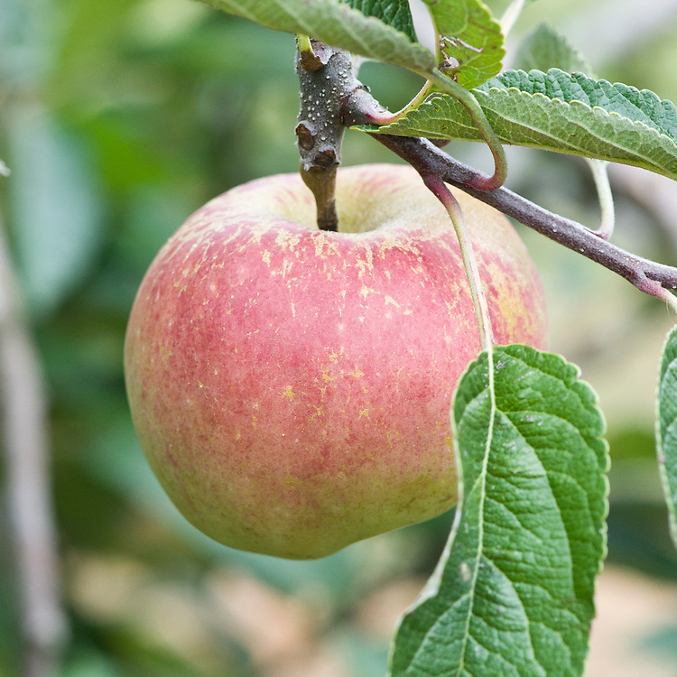 Apple 'Braeburn', early September. A relatively modern dessert variety that originates from New Zealand. Needs a warm, sunny climate to ripen successfully. Crisp, juicy, aromatic, with good acidity. Spur-bearer.