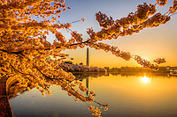 Cherry Blossoms Washingon Monument Tidal Basin Washington DC