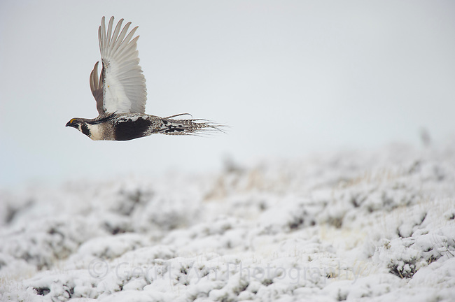 Adult male Gunnison Sage-Grouse  in flight. Gunnison County, Colorado.