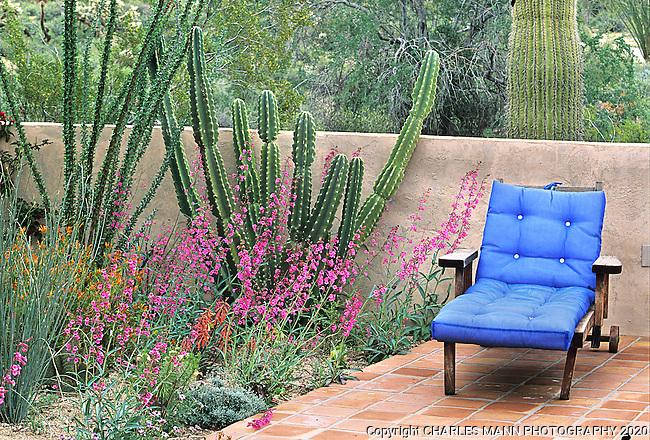 A single colorful chair sets off the colors of a bunch of pink Penstemon parryi blooming in Cliff Couglas' Phoenix garden in a design by landscape architect Steve Martino.
