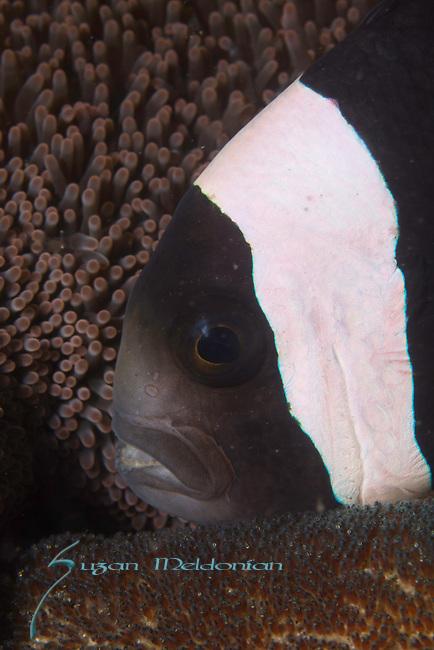 Anemone fish eggs., Indonesia, Lembeh, underwater marine life