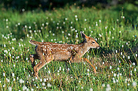 Columbian black-tailed deer (Odocoileus hemionus columbianus) fawn walking through subalpine meadow covered with American Bistort wildflowers.  Pacific Northwest.  Summer.
