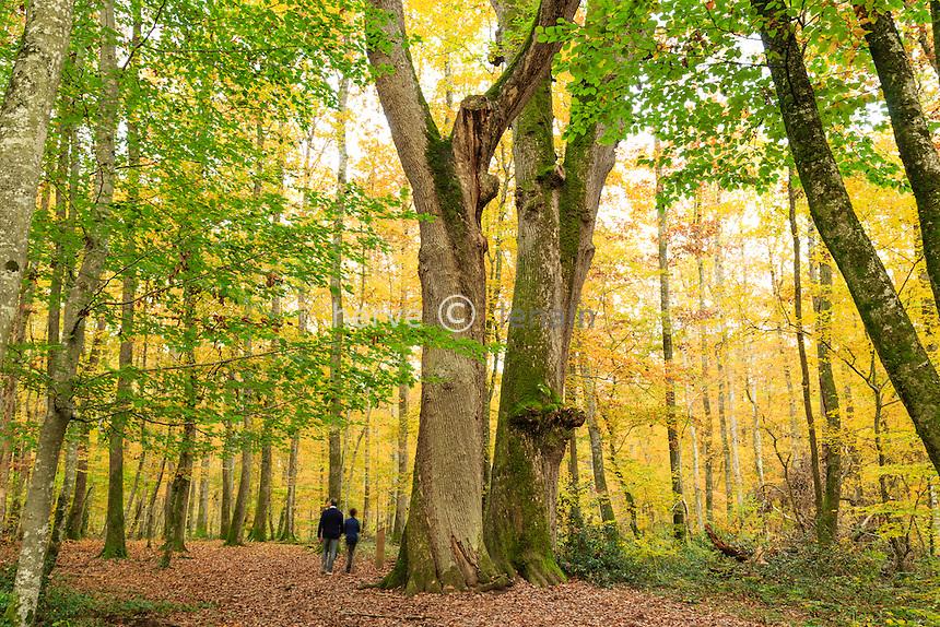 France, Allier (03), forêt de Tronçais, Saint-Bonnet-Tronçais, chênes sessiles remarquables Les Jumeaux agés début de XVIeme siècle // France, Allier, Tronçais forest, Saint Bonnet Troncais, remarkables oaks the Jumeaux