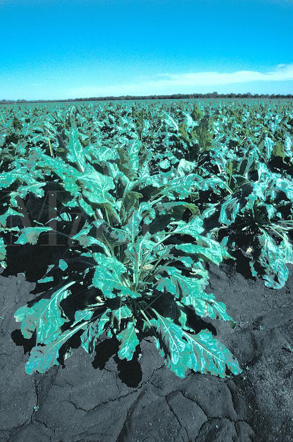sugar beet plants field California