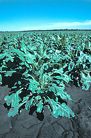 sugar beet plants field California