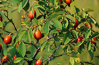 Apfel-Rose, Apfelrose, Rose, Früchte, Hagebutten, Rosa villosa, Rosa pomifera, Apple Rose, Soft Leaved Rose