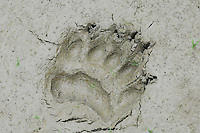 Black Bear  (Ursus americanus) track--front foot-- in mud along pond edge.  Western U.S., summer.