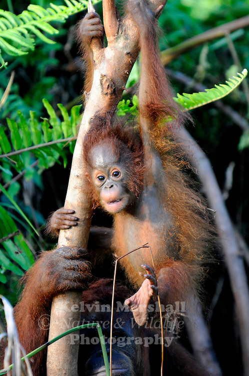 Juvenile Orangutan (Pongo pygmaeus)  playing in a tree - Samboja Lestari National Park is the location of Samboja Lodge as part of BOS (The Borneo Orangutan Survival Foundation)