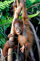 Juvenile Orangutan (Pongo pygmaeus)  playing in a tree - Samboja Lestari National Park is the location of Samboja Lodge as part of BOS (The Borneo Orangutan Survival Foundation)