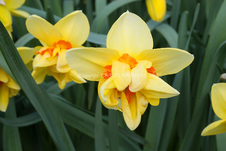 Daffodils Jersey Torch Division 4 Narcissus